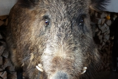 Die Taverne zum lachenden Wildschwein im Keltendorf